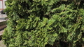 Beautiful green tree branches Thuja stock footage 53144586