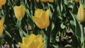 Footage of beautiful colorful yellow tulips 53144587