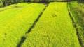 菜の花公園(ドローン空撮) 53192364