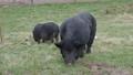 Pair of Vietnamese Pot-bellied pigs eats grass. Farm animals grazing on field. 53200970