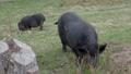 Pair of Vietnamese Pot-bellied pigs eats grass. Farm animals grazing on field. 53200971