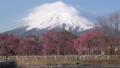 枝垂れ桜とシャンプー雲を纏った富士山(タイムラプス) 53324139