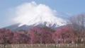 凍った田んぼ越しの富士山と枝垂れ桜(タイムラプス・チルトアップ) 53324142