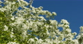 lush white flowers apple trees 53380916