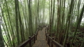 Wooden Path Through Misty Bamboo Green Forest in Alishan Hiking Area, Ruitai Historic Trail in 53580753