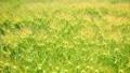 Wheat field 53599477