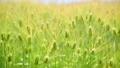Ear of wheat 53599479
