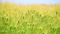 Barley 53599480