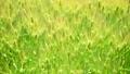 Barley 53599482