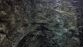 さけの稚魚(群泳) 53625051