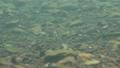 さけの稚魚(千歳川) 53625052