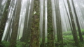 Misty Cypress Forest in Alishan Scenic Area with Fog and Haze in Taiwan 53636408