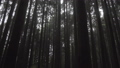 Misty Cypress Forest in Alishan Scenic Area with Fog and Haze in Taiwan 53636423