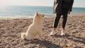 柴犬 わんこ 犬の動画 53651077