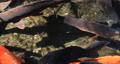 비단 잉어 잉어 수면 수영 풍경 연못 잉어 善福寺 공원 도쿄 53733683