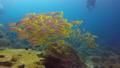 A flock of kansenhueda seas in Raja Ampat, Indonesia 53766187