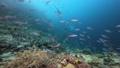 インドネシア・ラジャアンパットの海 クマザサハナムロの群れ 53766221