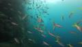 インドネシア・ラジャアンパットの海 クマザサハナムロとウメイロモドキの群れ 53766222