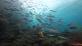 インドネシア・ラジャアンパットの海 ウメイロモドキの群れ  53766223