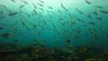 インドネシア・ラジャアンパットの海 ウメイロモドキの群れ 53766225