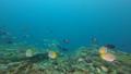インドネシア・ラジャアンパットの海  クラカケチョウチョウウオ 53766226