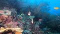 インドネシア・ラジャアンパットの海 ネッタイスズメダイ 53766229