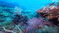 インドネシア・ラジャアンパットの海 スカシテンジクダイの群れ 53766230