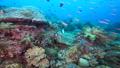 インドネシア・ラジャアンパットの海 小魚の群れとツノダシ 53766231