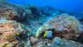 インドネシア・ラジャアンパットの海 タテジマキンチャクダイ 53766232