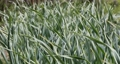 Patch with garlic swaying in wind. Vegetable 53906908