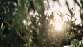 Close up view of green Olive branch tree with rays of sun in the background 53956849