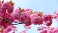 盛开的双花樱花盛开 53972556