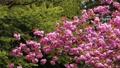 盛开的双重樱桃树 53972557