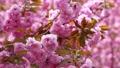盛开的双重樱桃树 53972562