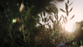 Close up view of green Olive branch tree with rays of sun in the background 53996694