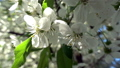 The sun break through the flowers on the branches of the trees. 54027515