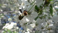 Bees collecting nectar of pollen on blooming tree flower. Springtime concept 54027517
