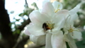 Bees collecting nectar of pollen on blooming tree flower. Springtime concept 54027528