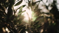 Close up view of green Olive branch tree with rays of sun in the background 54040079
