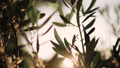 Close up view of green Olive branch tree with rays of sun in the background 54040575