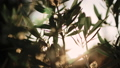 Close up view of green Olive branch tree with rays of sun in the background 54051693