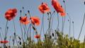 Wind shakes poppy flowers against the blue sky 54056652