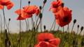 Wind shakes poppy flowers against the blue sky  54056654