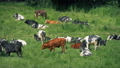 Cattle Relaxing In The Sun 54057881