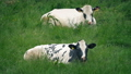 Cows Eating Grass In The Field 54057882
