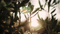 Close up view of green Olive branch tree with rays of sun in the background 54075140