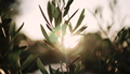 Close up view of green Olive branch tree with rays of sun in the background 54083737