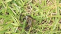 虫の死骸に集まるクロオオアリ 54105909