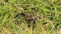 虫の死骸に集まるクロオオアリ 54105910
