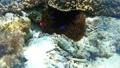 Anemonefish Pangorao 54108976